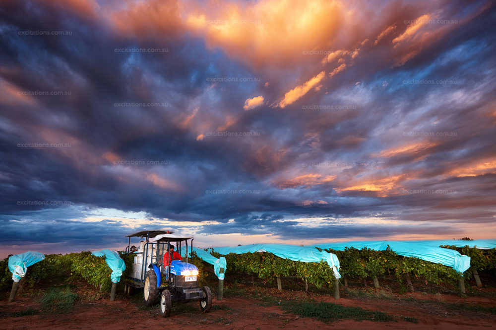 Dramatic storm clouds ove vineyard with small blue tractor carting in freshly harvested grapes. Picture by Exciations, Mildura Photographers.