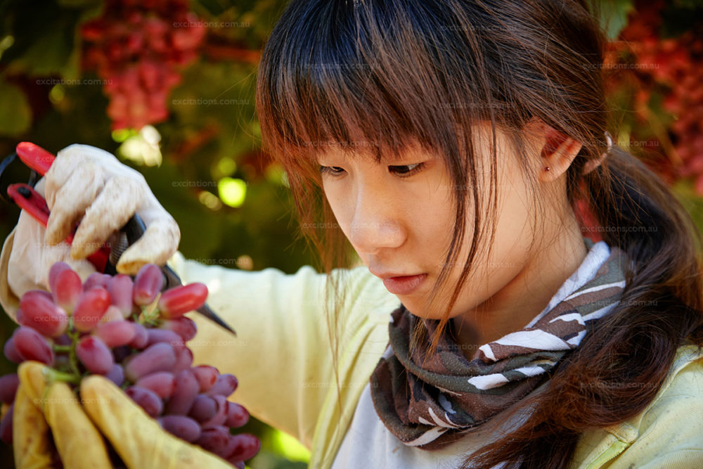 Young woman trims bunch of Crimson Seedless table grapes. Fruit Master Robinvale. Vineyard photography by excitations.