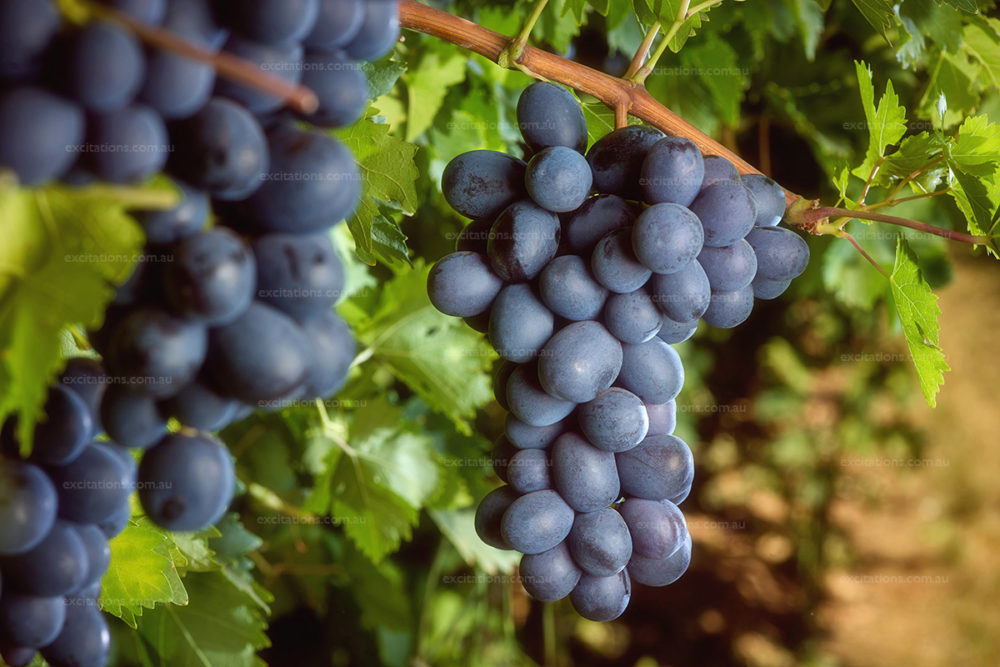 Romantic image of red grapes hangin on vines. Farm photography by excitations Mildura photographers